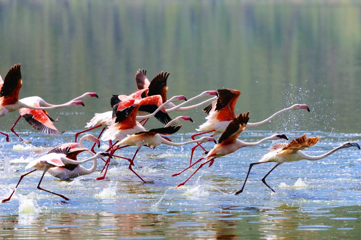 Running-Flamingoes_1200.jpg