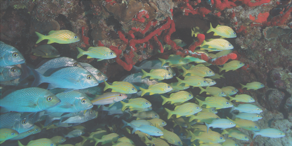 Snapper-Coral.png